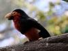 red barbet